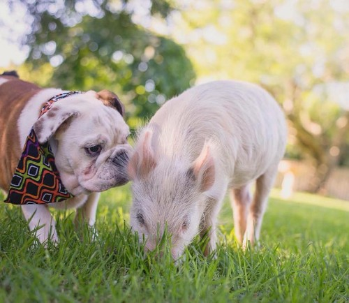 Adorable Pig Grows Up Bonding with Dogs, Thinks She's a Puppy Too