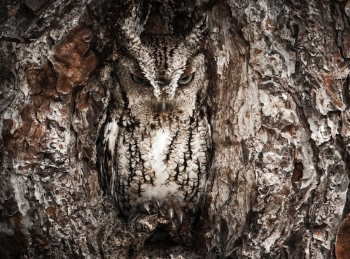 Owls Perfectly Camouflaged Within Trees by Graham McGeorge