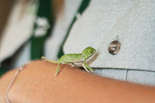 Adorable Baby Chameleons are Small Enough to Sit on Finger Tips
