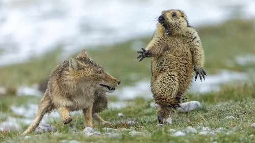 Showdown Between Fox and Marmot Wins Wildlife Photo Contest