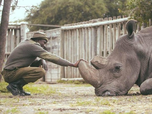 This Man Is Caring for the Last Two Northern White Rhinos on Earth