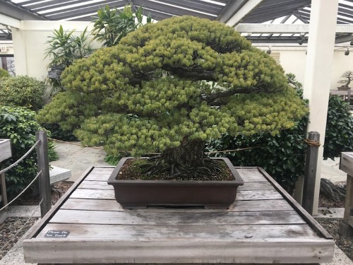 391-Year-Old Bonsai Tree Survived Hiroshima Bombings and Keeps Growing