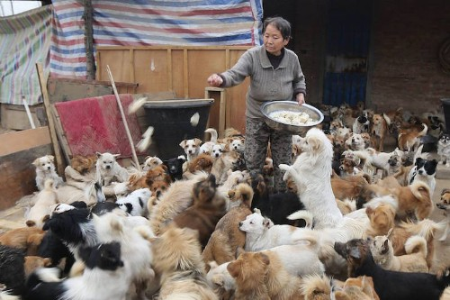 Elderly Chinese Women Wake Up at 4AM Every Day to Take Care of 1,300 Stray Dogs
