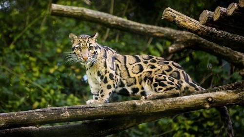 """Extinct"" Leopard Is Spotted in Taiwan for First Time in Over 30 Years"