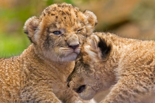 Heart-Melting Photos of Baby Lions and Leopard Cats