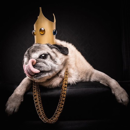 Adorable Pugs Proudly Pose as 80s and 90s Hip-Hop Icons
