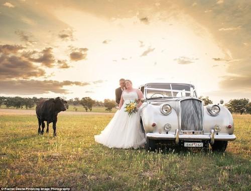 Inquisitive Bull Photobombs Couple's Wedding Photos