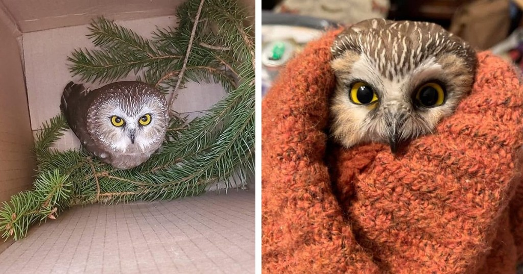 Adorable Little Owl Is Found in Rockefeller Christmas Tree After Traveling 170 Miles