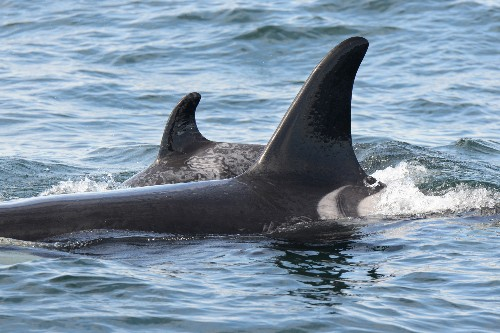 First Killer Whale Reintroduced to Wild Has Baby