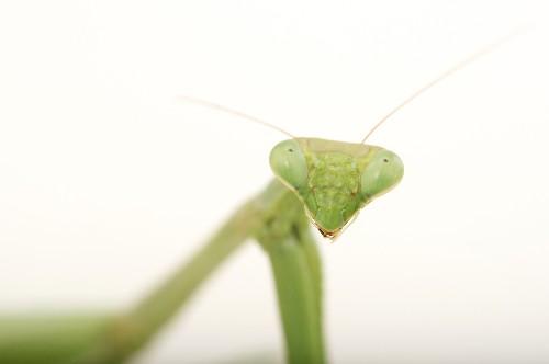 Praying Mantis | National Geographic