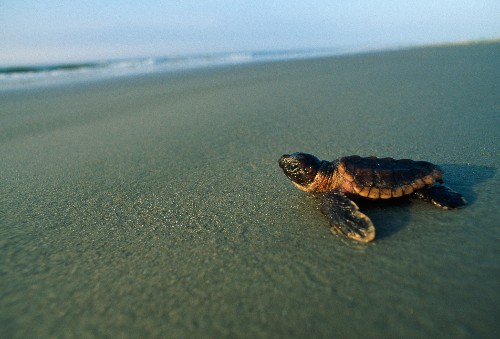 How Do Sea Turtles Find the Exact Beach Where They Were Born?
