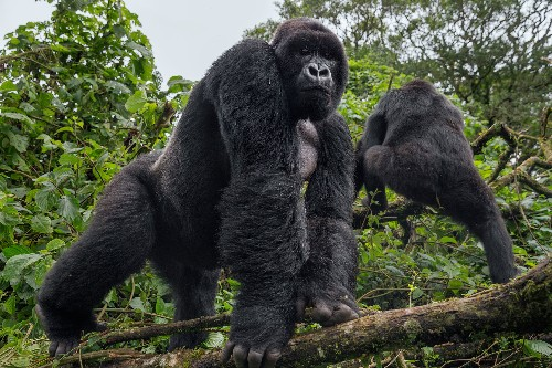 What it takes to protect gorillas from Ebola