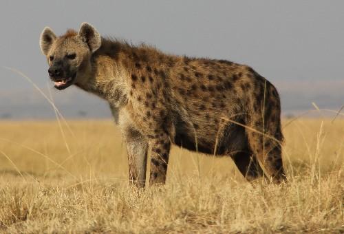 What Hyena Giggles Really Say