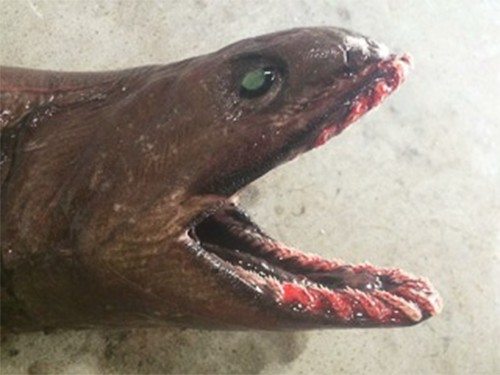 Rare Shark That Inspired Sea Monster Myths Is Caught