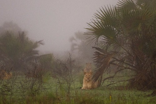 How the world's largest lion relocation was pulled off