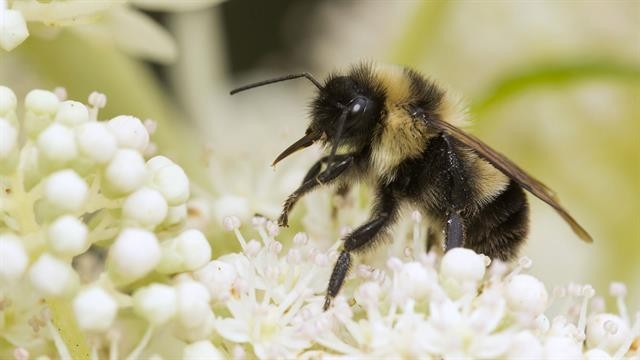 For the First Time, Bees Declared Endangered in the U.S.