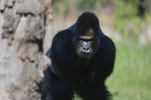 What You Need to Know About London's Escaped Gorilla