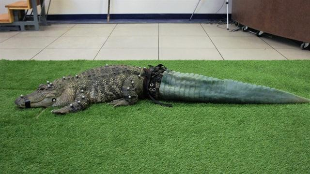 How 3D Printing Helped Mr. Stubbs, The Tailless Alligator