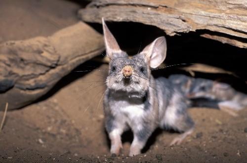 Meet the bilby, Australia's own 'Easter bunny'