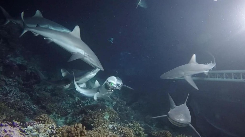 Look inside a frenzy of hungry sharks and breeding groupers
