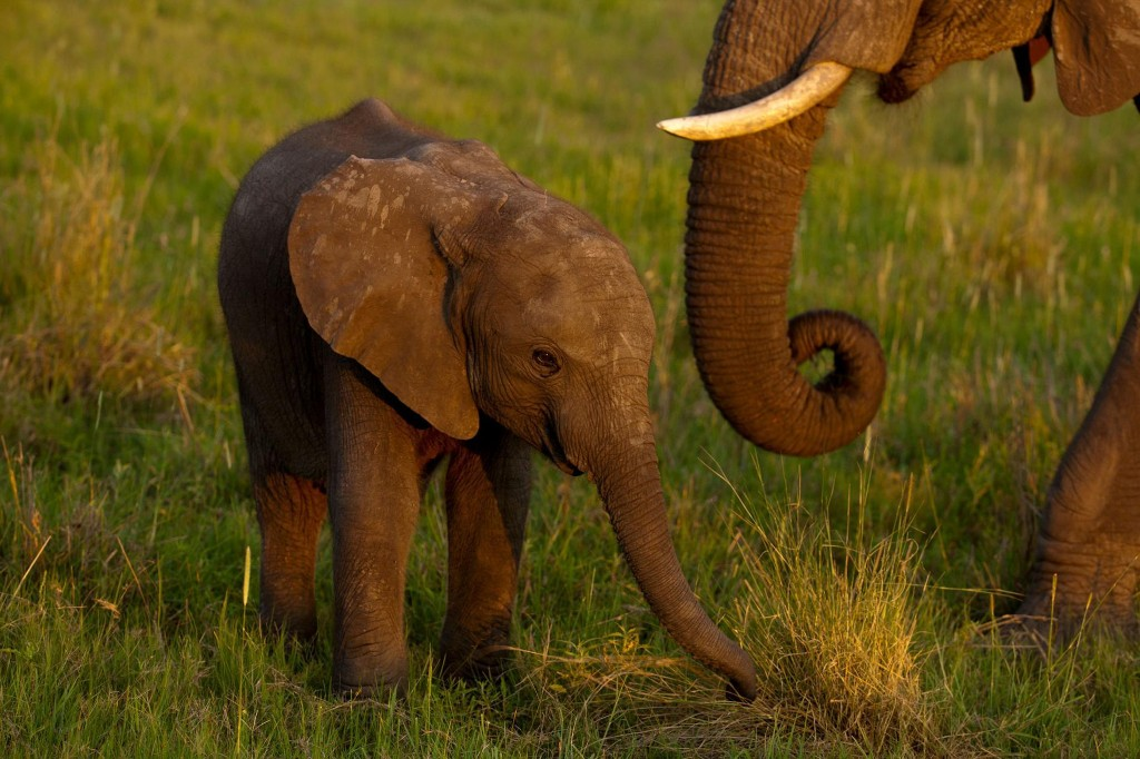 African elephants can't be caught in the wild and sent to faraway zoos anymore