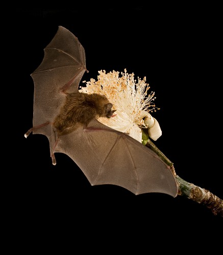 Bat's Super-Long Tongue Powered by Blood (With Video)