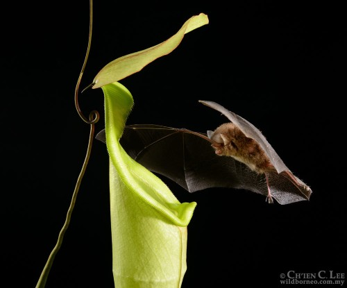 With Sonar-Reflecting Leaves, Plant Lures Bats to Poo in it