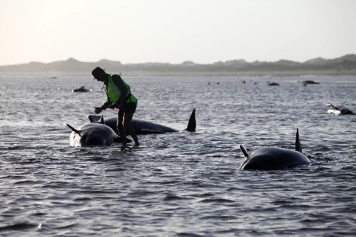 Nearly 200 Whales Stranded on New Zealand Beach