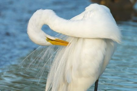 Preening Plumes Photo by Alan Peterson — National Geographic Your Shot