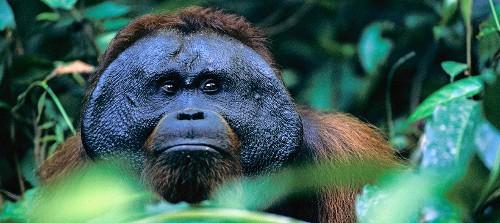 When Darwin Met Another Ape