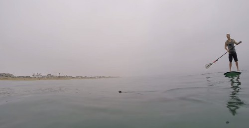 Great White Sharks Surround Paddleboarders in California
