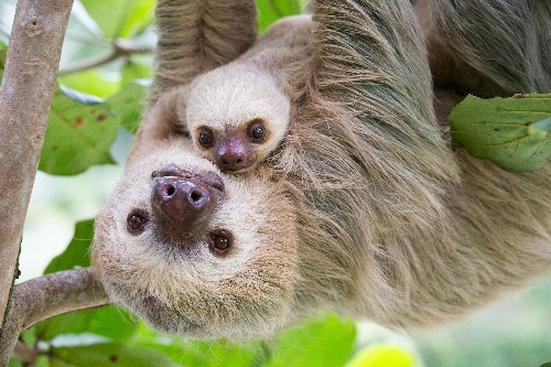 Sloths May Be Slow, But They're Not Stupid