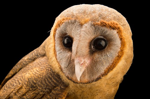 Who's the Most Superb Owl?