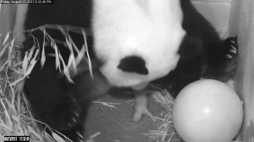 National Zoo Panda Birth Spotlights Survival Challenges