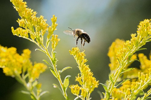 Bumblebees are going extinct in a time of 'climate chaos'