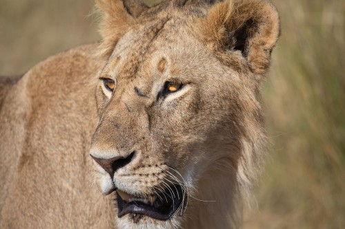 Lions of Masai Mara Photo by Raffi B — National Geographic Your Shot