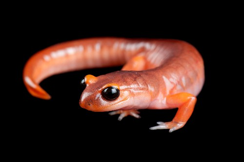 See a salamander grow from a single cell