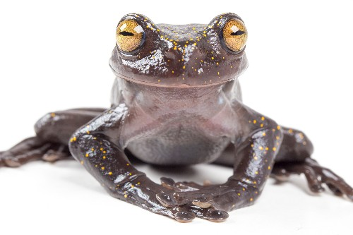 New frog species is armed with special skin-puncturing claw