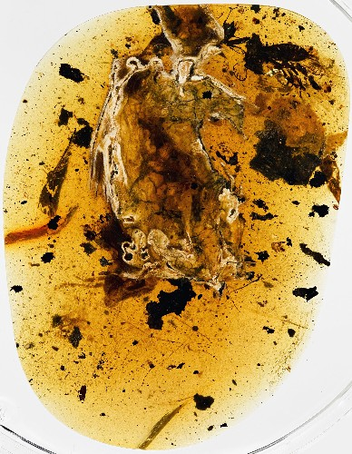 Exclusive: Dinosaur-Era Bird Found Trapped in Amber