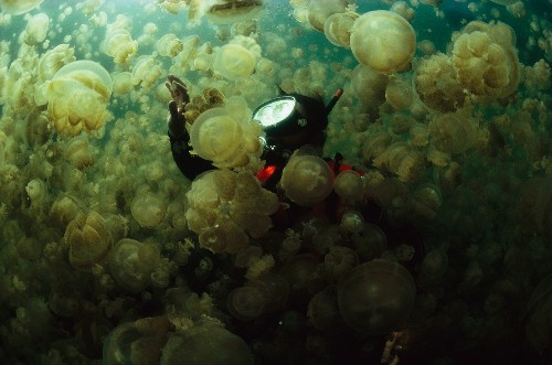 Diaphanous, Sometimes Deadly, Jellyfish Pictures From National Geographic's Archives