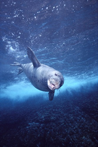 Crittercams and Crowdsourcing to Solve Mystery of Hawaiian Monk Seals?