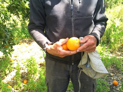One Man's Quest to Keep the Jaffa Orange Alive