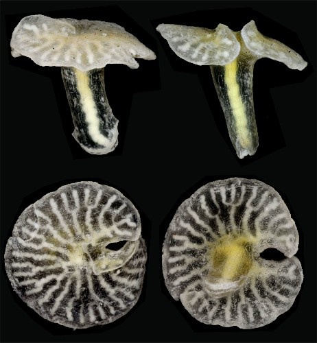 New Deep-Sea Animal Species Look Like Mushrooms but Defy Classification