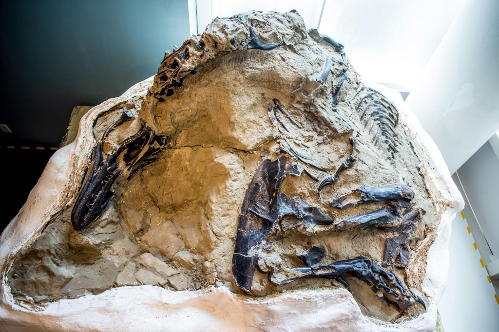 'Dueling Dinosaurs' fossil, hidden from science for 14 years, could finally reveal its secrets
