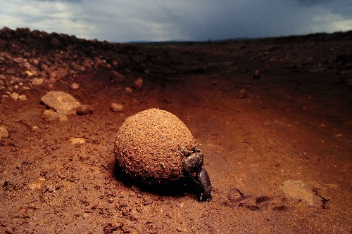 Why Dung Beetles Watch the Sky While Rolling Poop Balls
