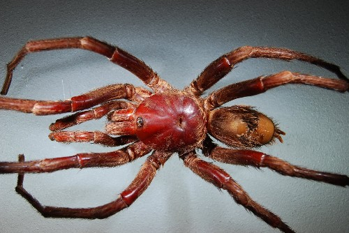 New Tarantula (Not Beetle) Named After John Lennon