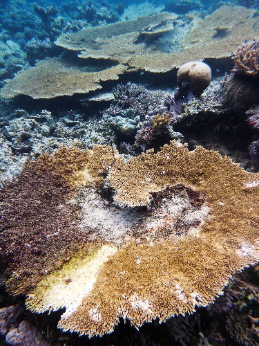 Digging Up the Seafloor Makes Coral Reefs Sick
