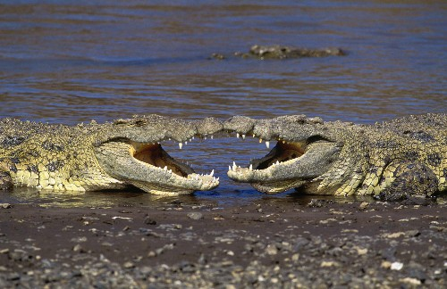 Crocodiles Play, Too, Study Says—Why Do Animals Have Fun?