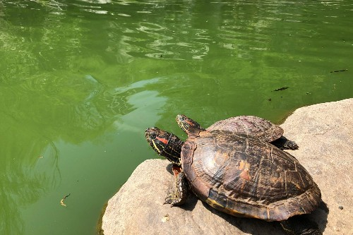 New York City has a turtle problem