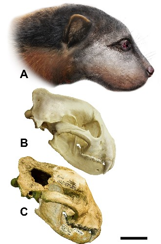 Paleo Profile: The Giant, Bone-Crushing Weasel